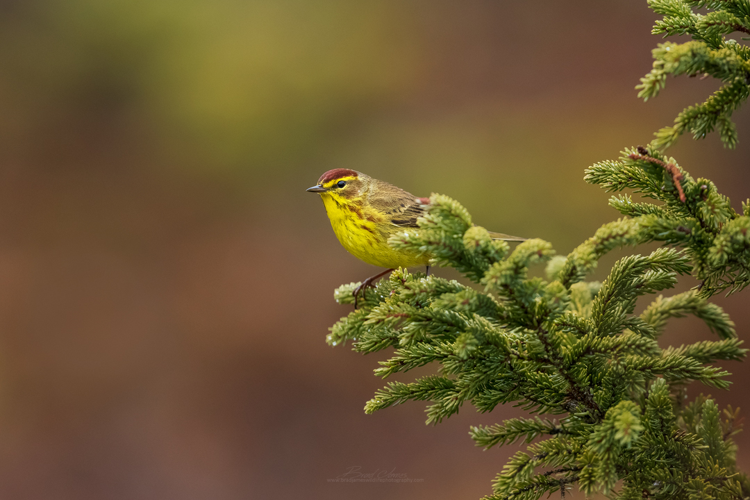 2019_PalmWarbler_May_1.jpg