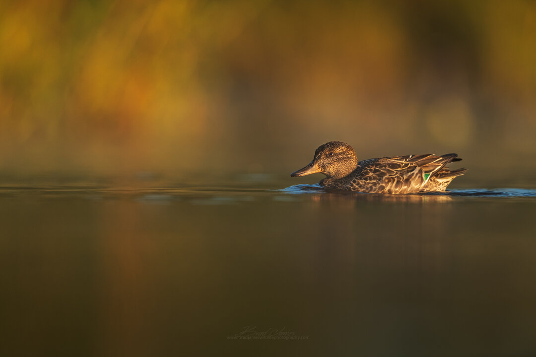 2019_GreenWingTeal_Sept_1.jpg