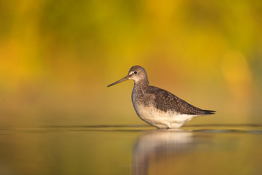 2018_YellowLegs_Sept_4.jpg