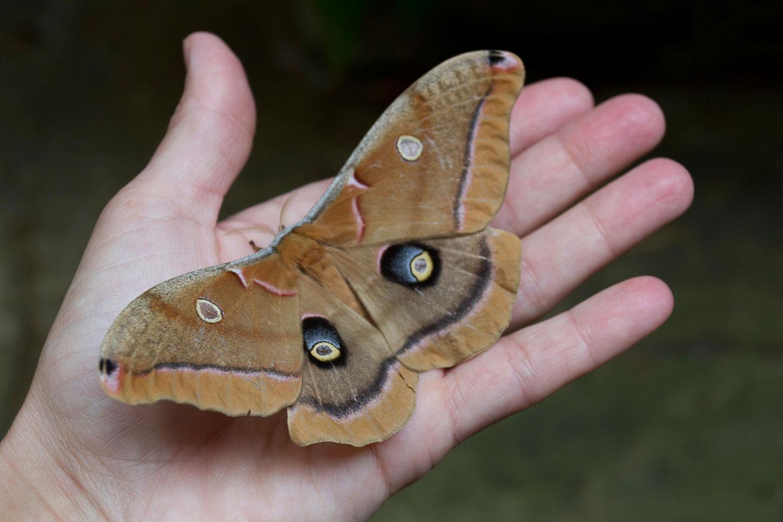 RA_luna-moth-6765.jpg