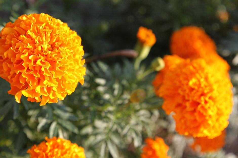 KB_marigolds_3152.jpg