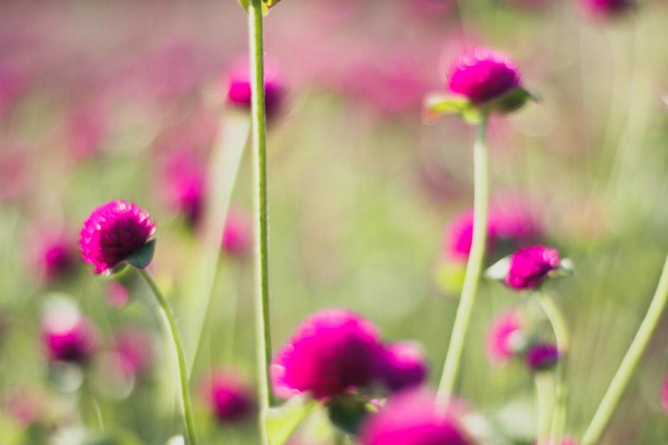 KB_pinkblooms_0338.jpg