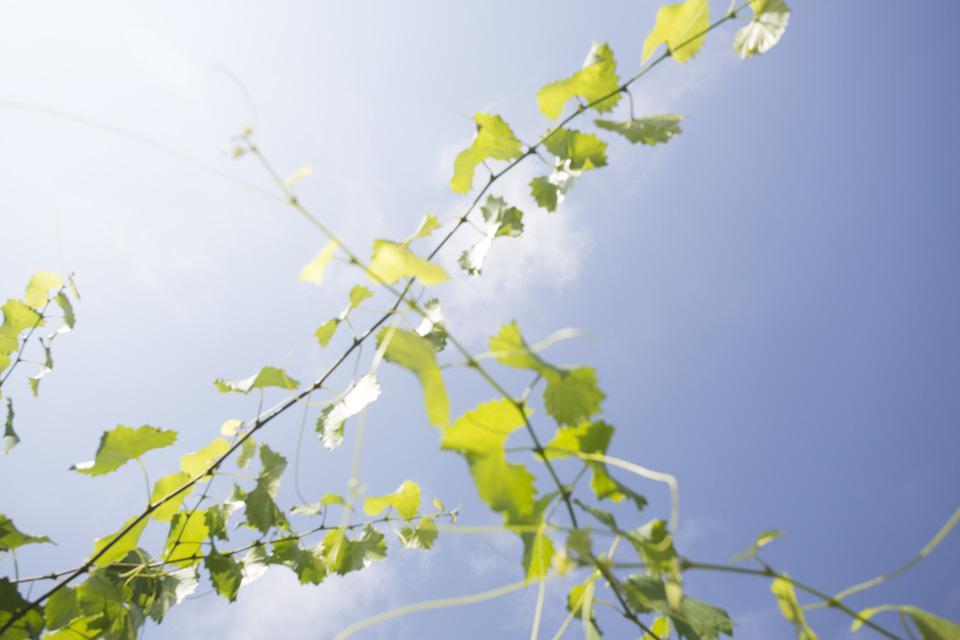 scuppernong vines-6000.jpg