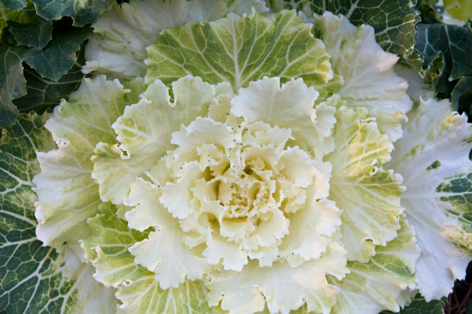KB_cabbage-7386.jpg