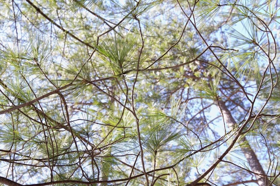 KB_pines-8341.jpg