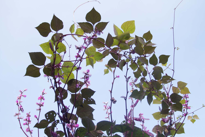 hyacinth_bean-1111.jpg