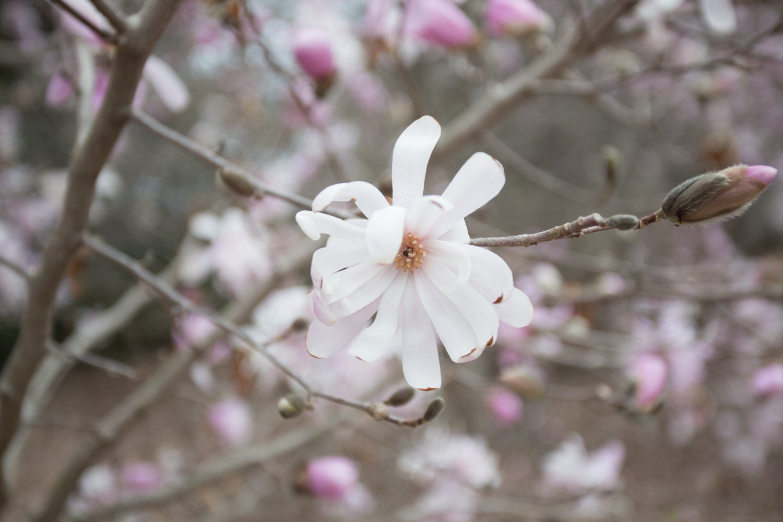 japanese magnolia-0547.jpg