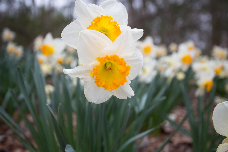 daffodil eyes-0507.jpg