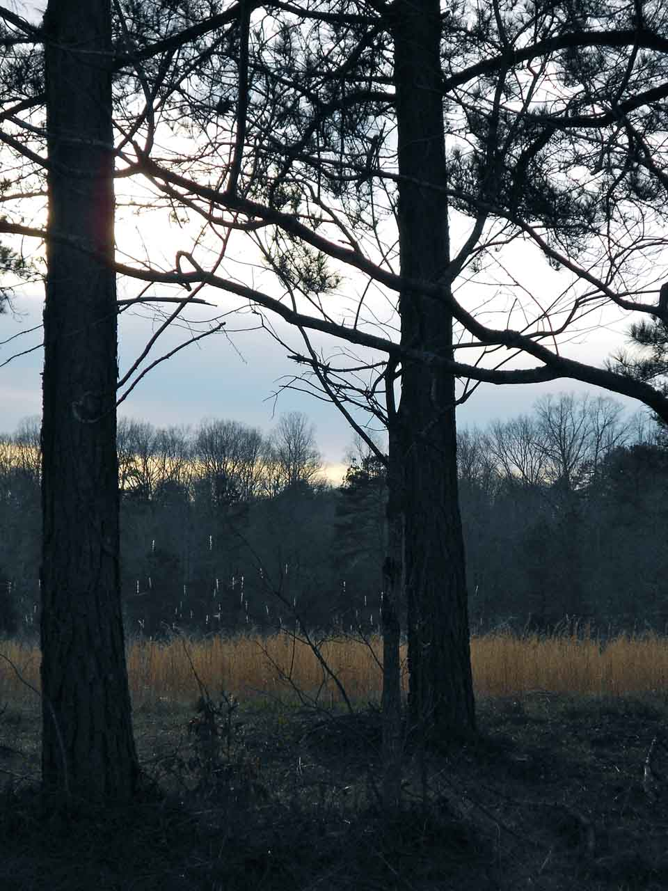 RW_Pinetrees-0809.JPG
