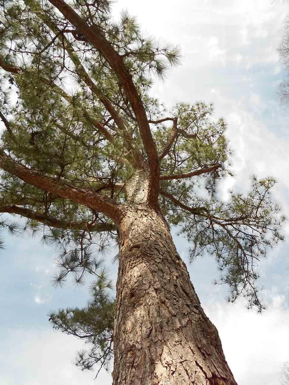 RW_Pinetrees-0641.JPG