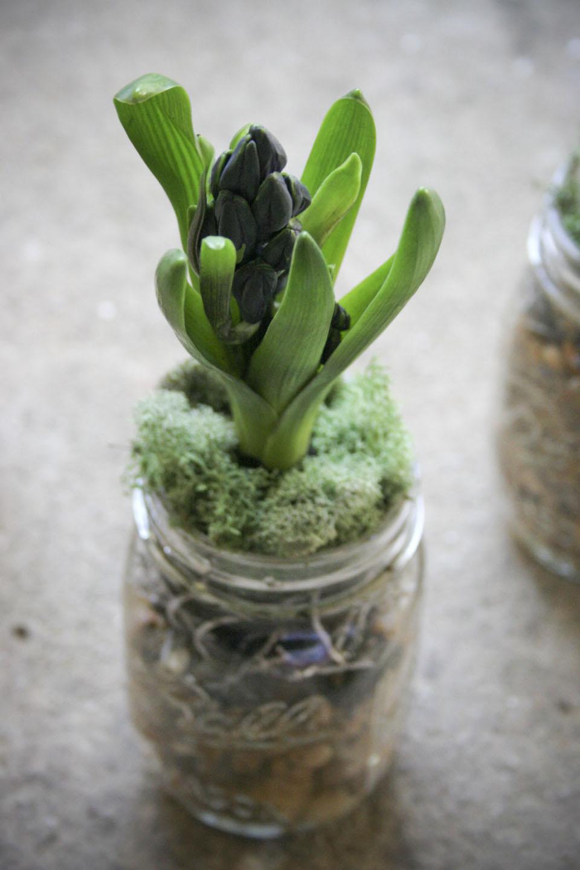 daffodils_hyacinth_in mason jars with pebbles-1965.jpg