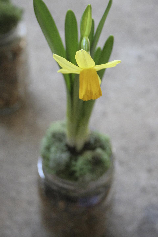 daffodils_hyacinth_in mason jars with pebbles-1967.jpg