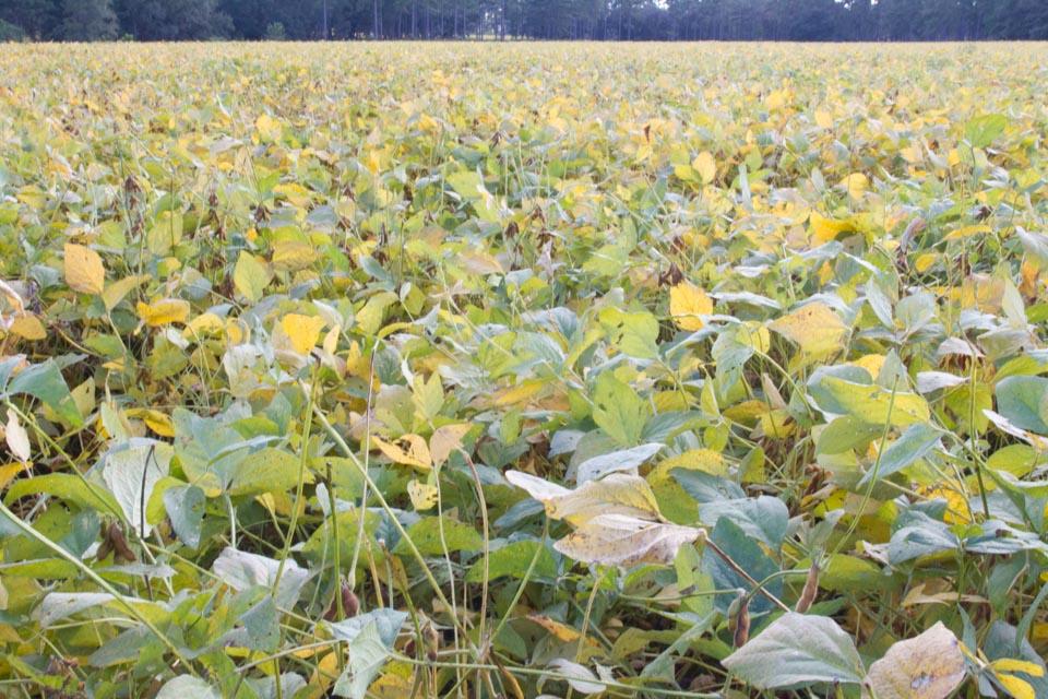 KB_soybeans-1059.jpg