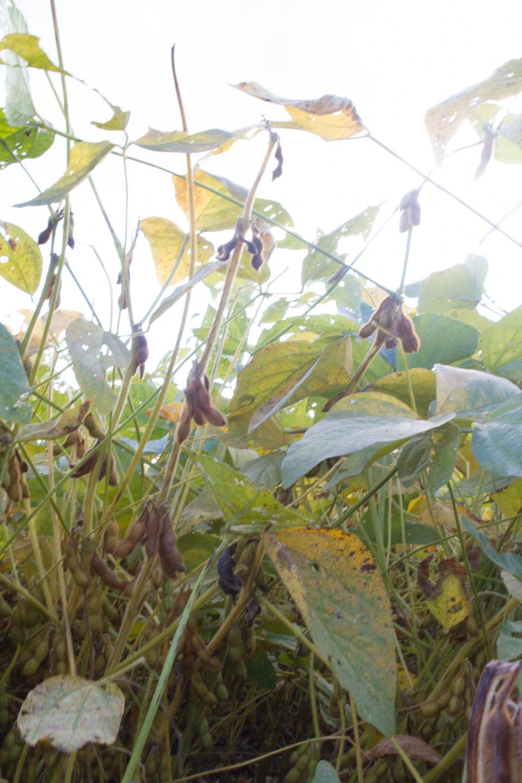 KB_soybeans-1060.jpg