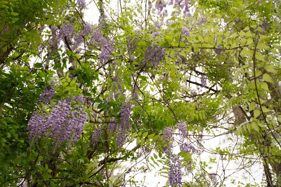 KB_wisteria-6887.jpg