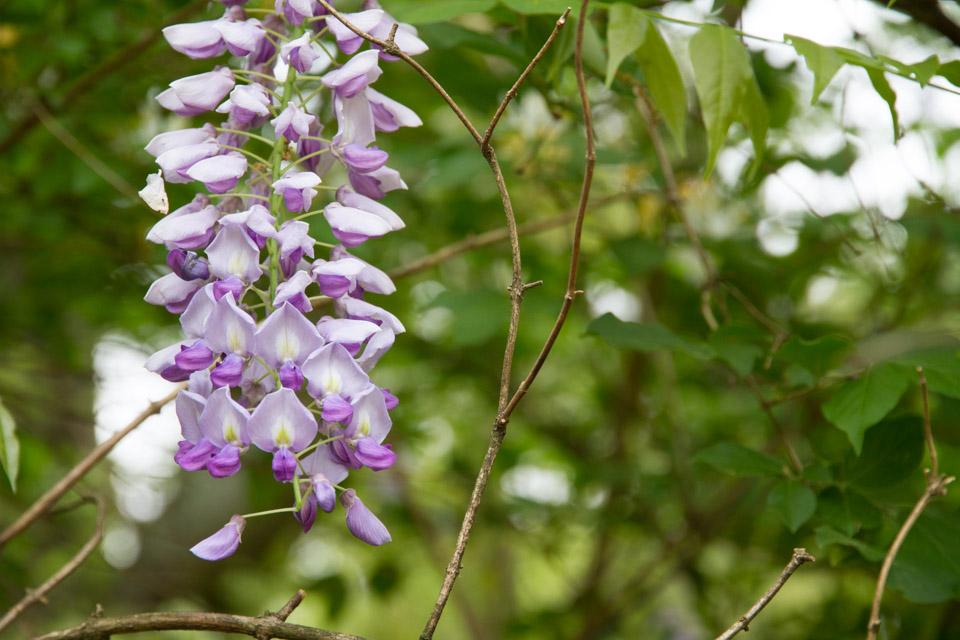 KB_wisteria-6886.jpg