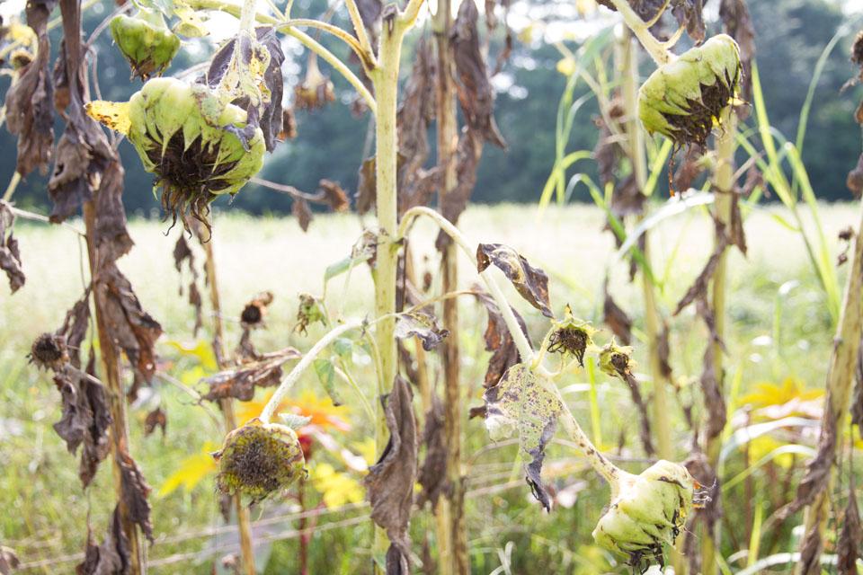 KB_sunflowersilhouettes-4802.jpg