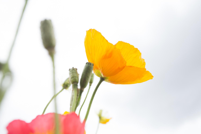 france, poppies-0423.jpg