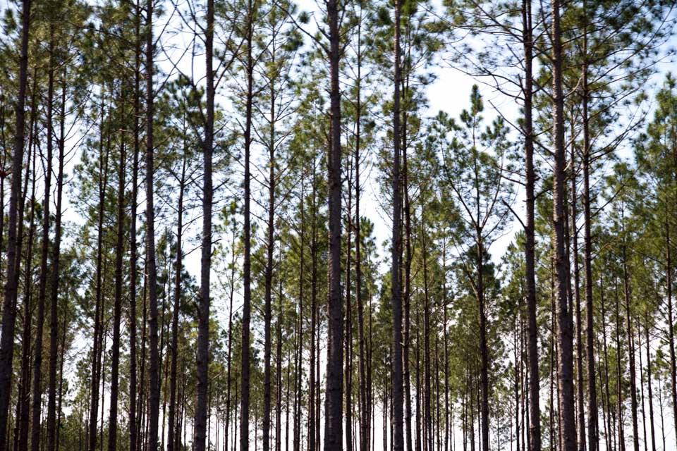 KB_pines-5874.jpg
