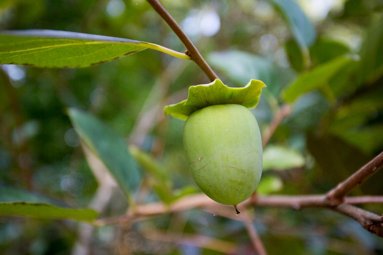 green persimmon-2408.jpg