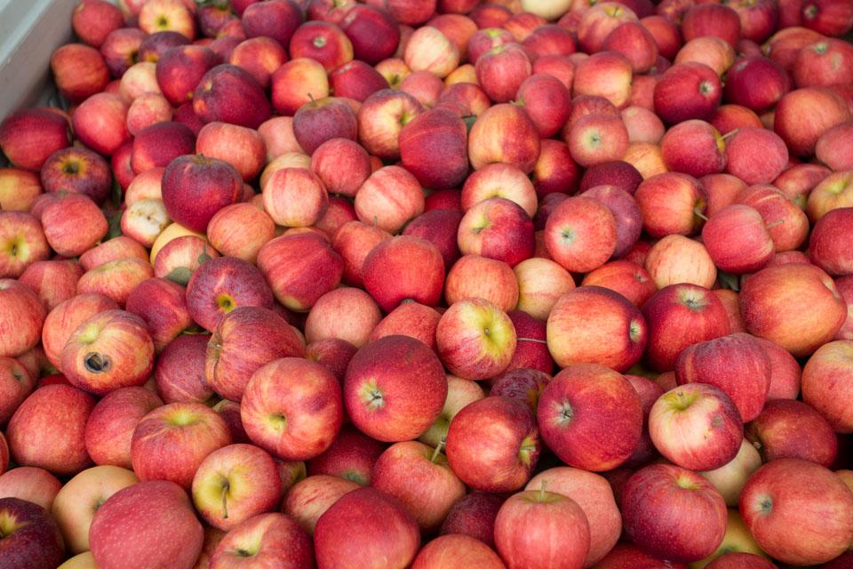 KB_apple-pickin'-2351.jpg