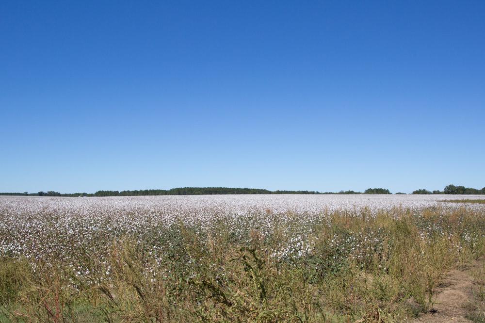 KB_cotton-fields-9053.jpg