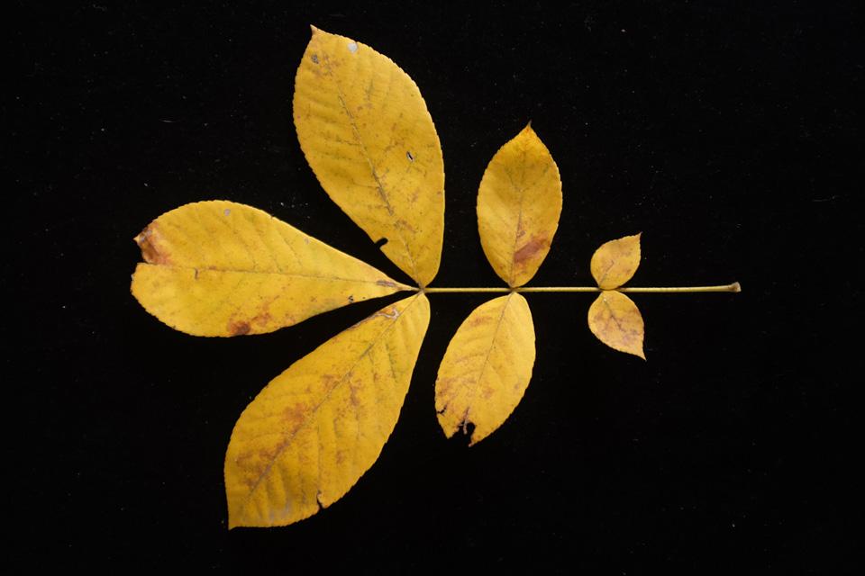 rw-leaf shapes-5082.jpg