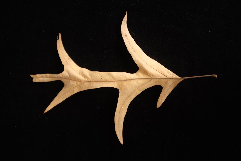 rw-leaf shapes-5116.jpg