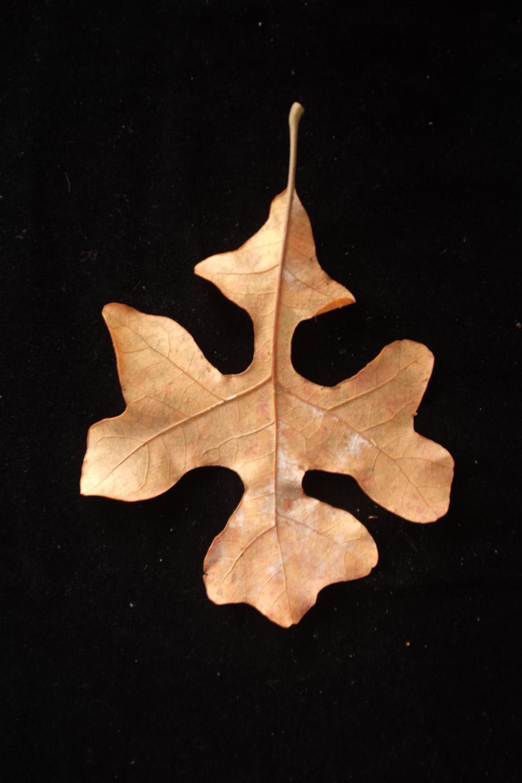 rw-leaf shapes-5156.jpg