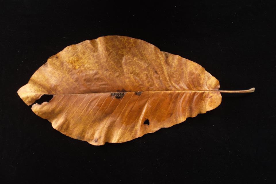 rw-leaf shapes-5198.jpg