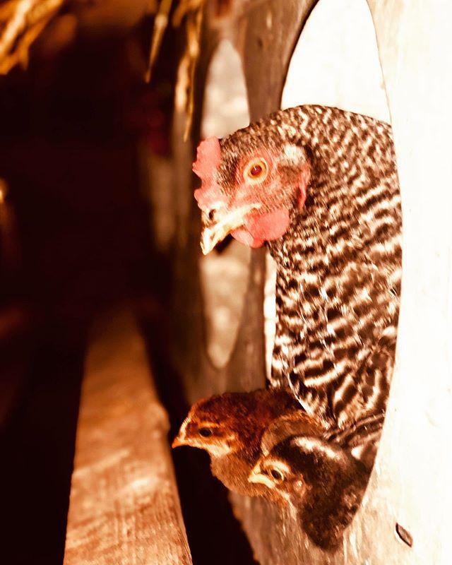 Nite chicks! #psdranch #instachicks