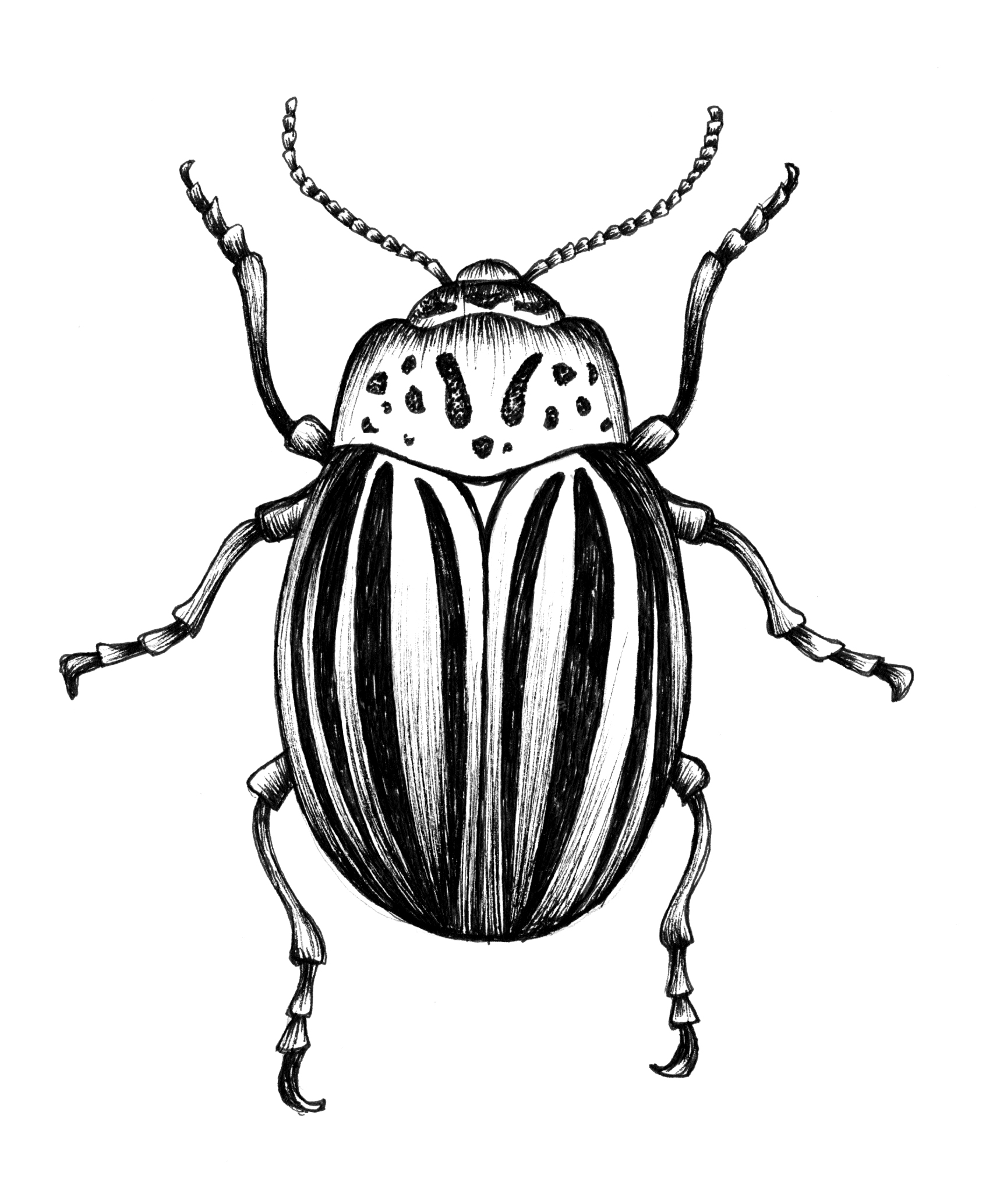 illustration19_potatobug.jpg