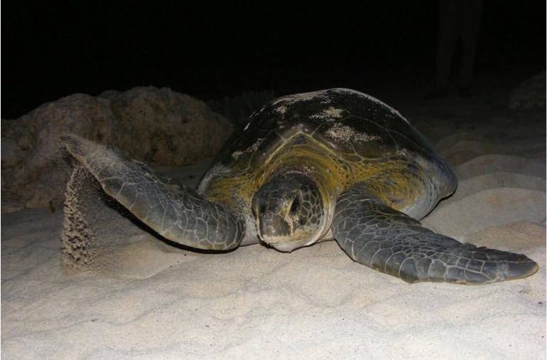 Green turtle (credit CMRC)