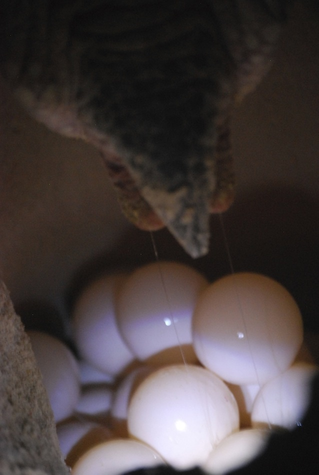 Cloaca and eggs of a green turtle