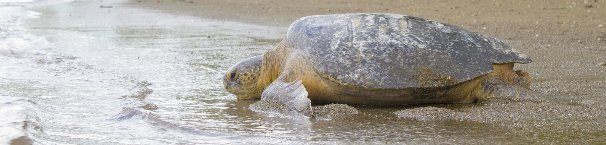 GREEN TURTLE RETURNING TO THE WATER (PHOTO: BRAD NAHILL)