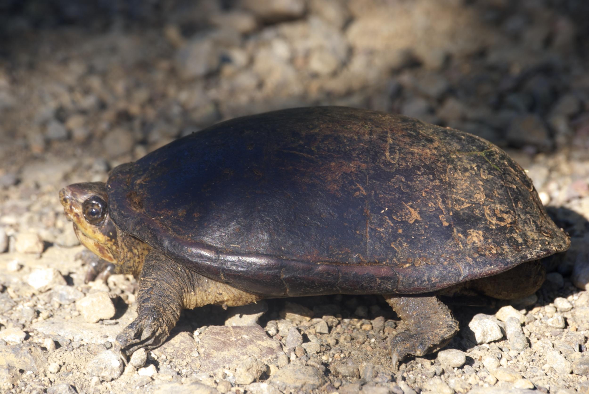 White lipped mud turtle in El Progreso