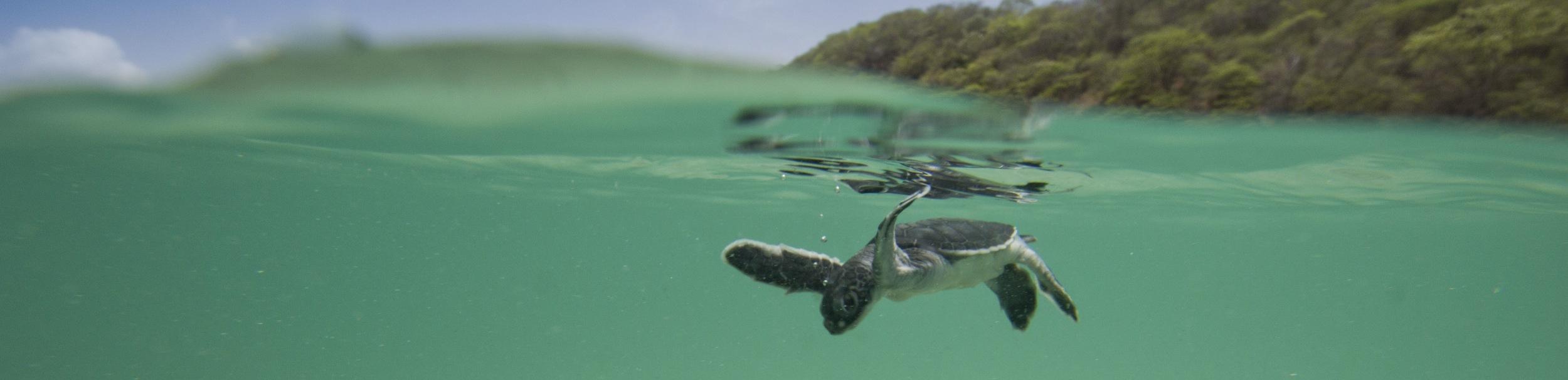 Green turtle hatchling in Nicaragua (credit Hal Brindley)