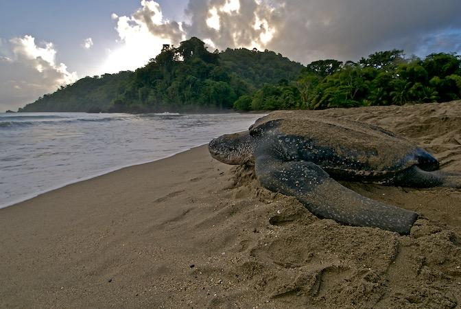trinidad leatherback.jpg