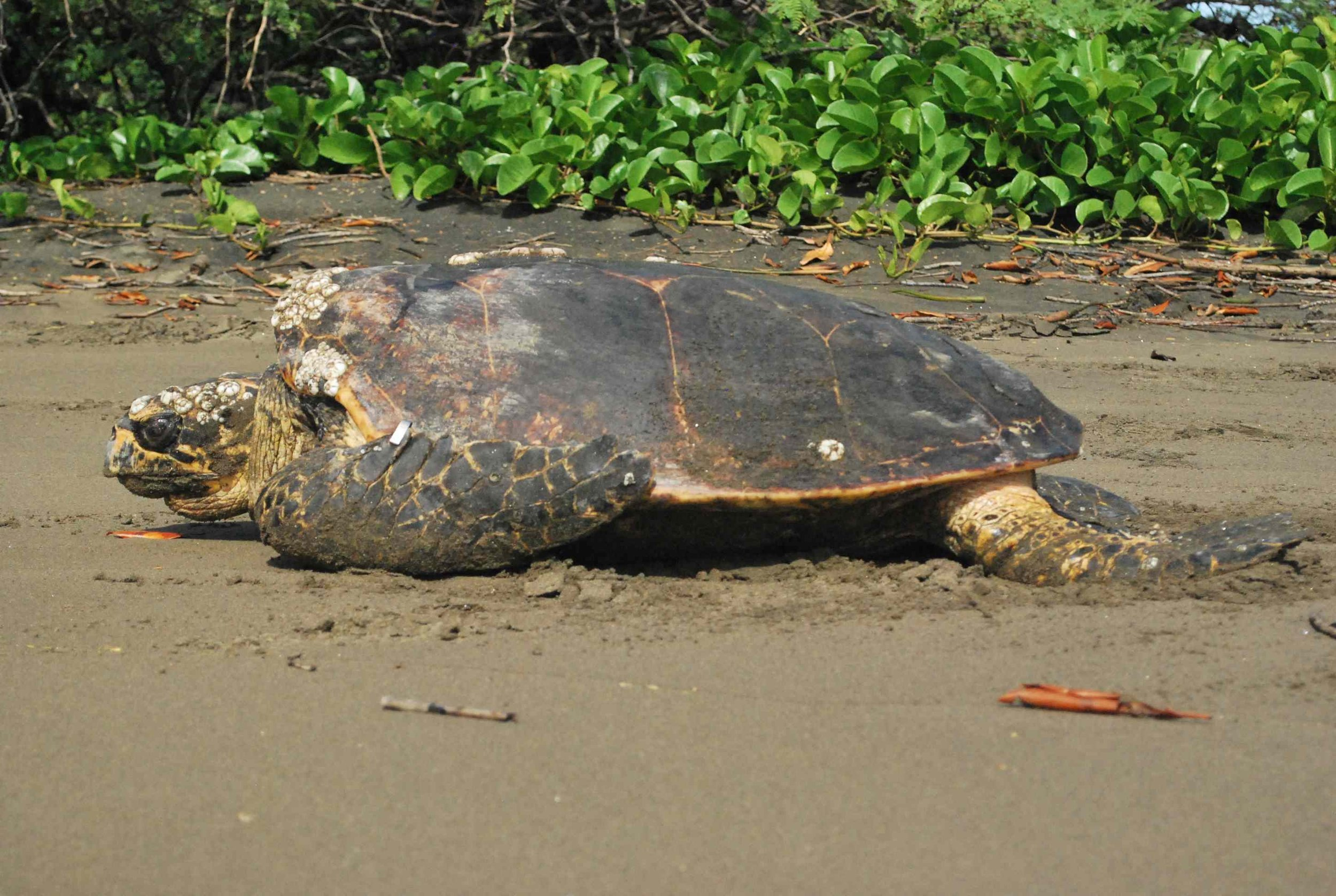 Day 5: Head out for another full day of turtle research, this time with hawksbill turtles