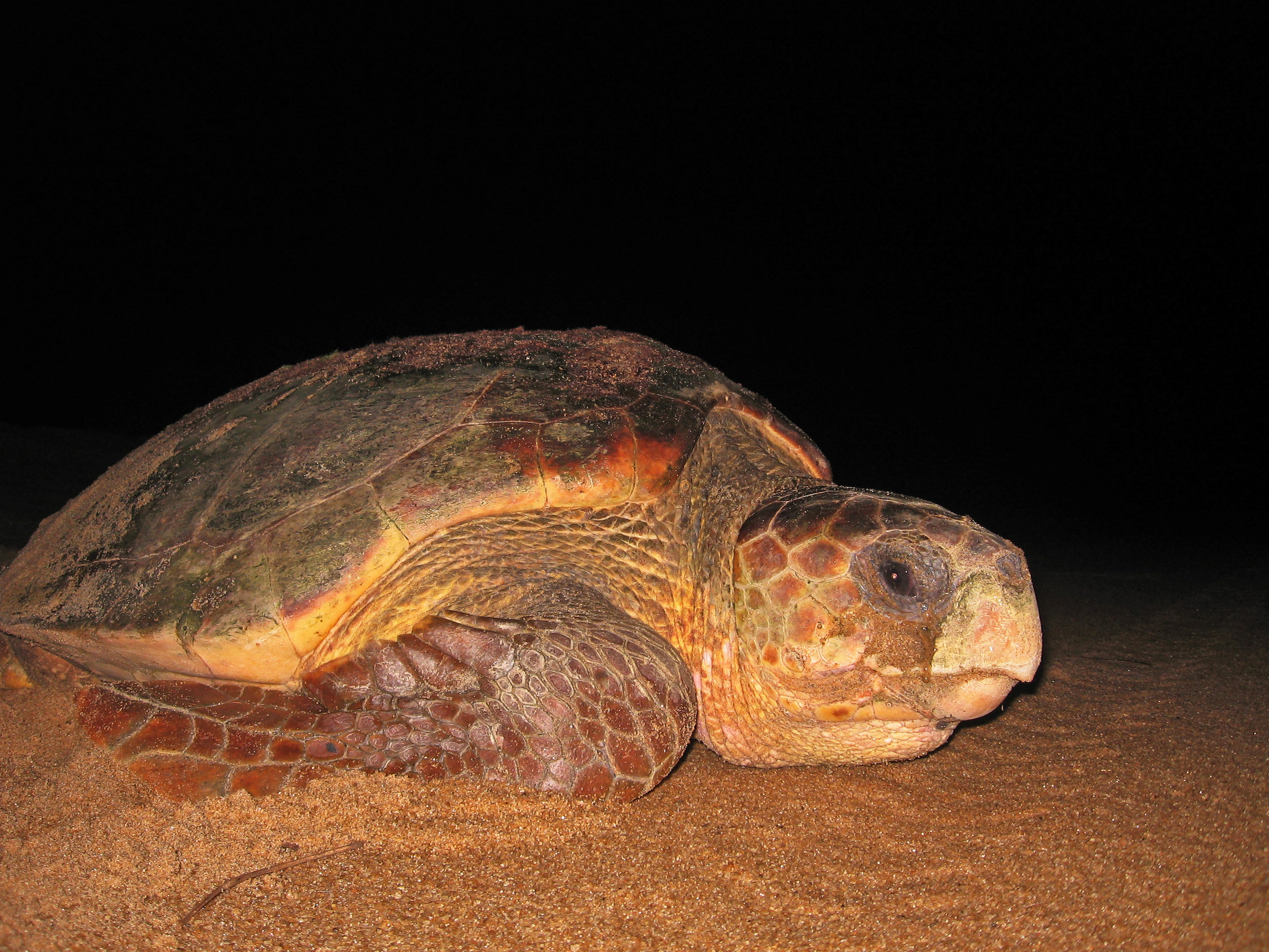 Sea Turtle Tici Fettermann.jpg