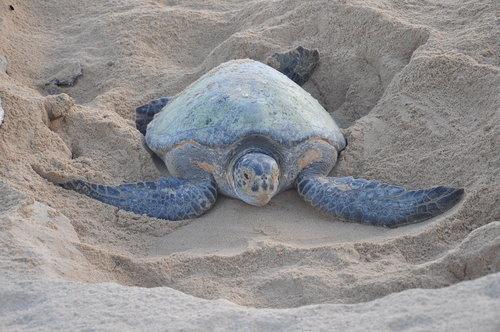 Nesting black turtle