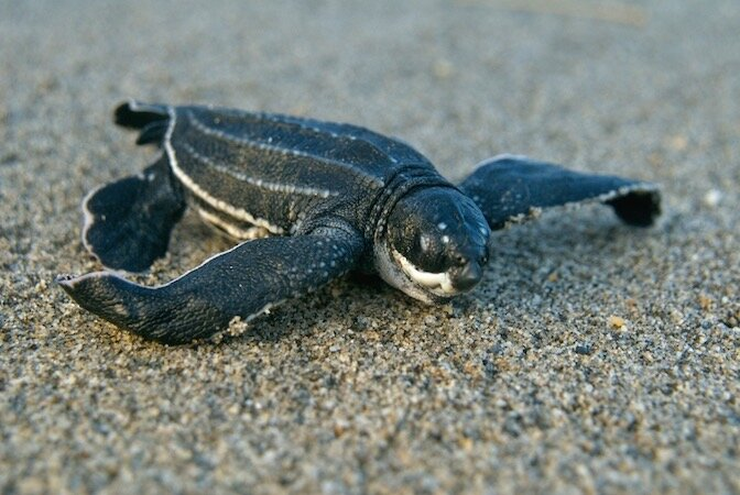 Donate To Save Baby Turtles