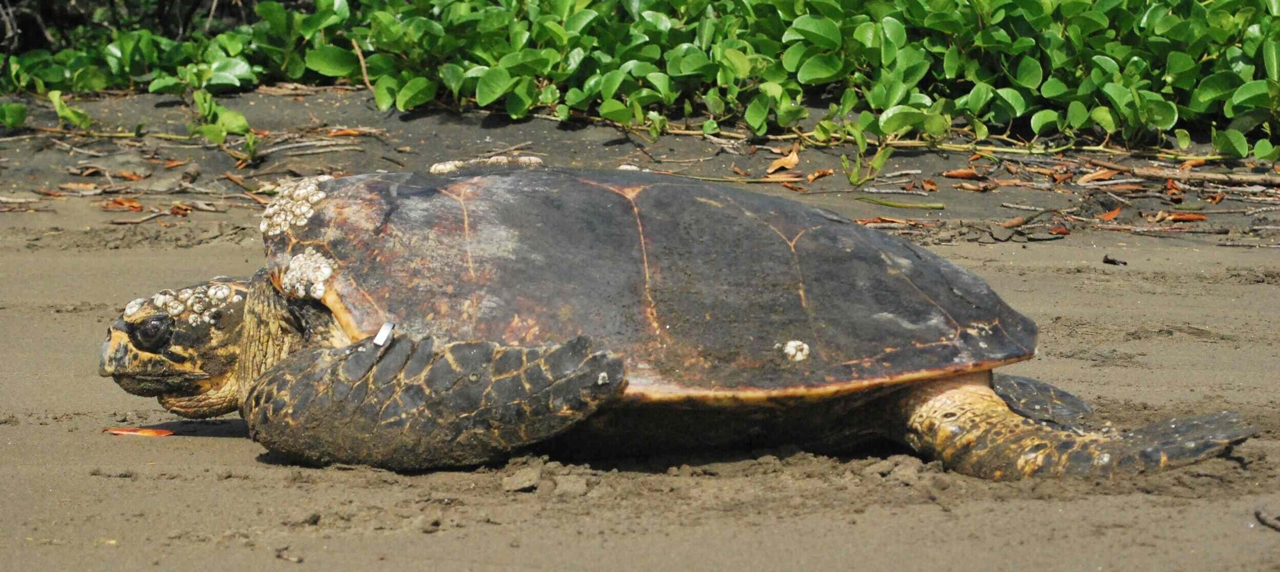 Photo: Eastern Pacific hawksbill from Padre Ramos, Nicaragua (Brad Nahill / SEE Turtles)