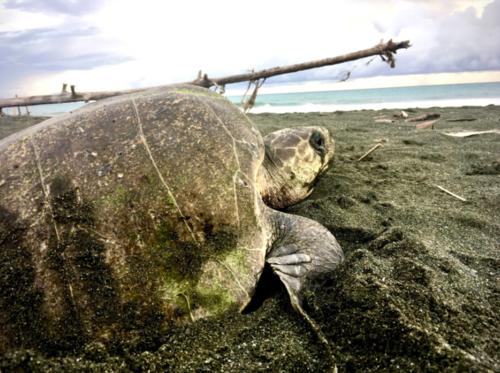 Photo: Tortugas de Osa