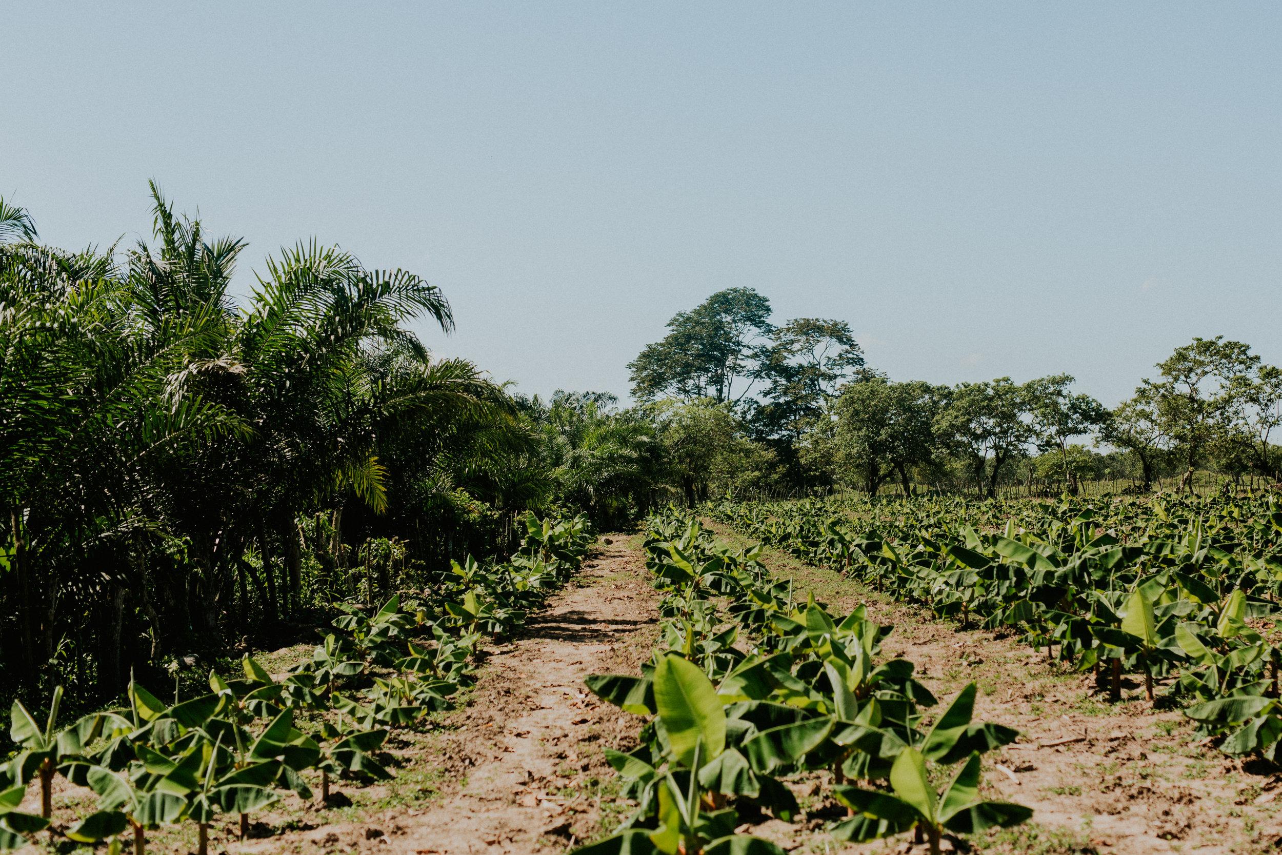 plaintain-farm.jpg