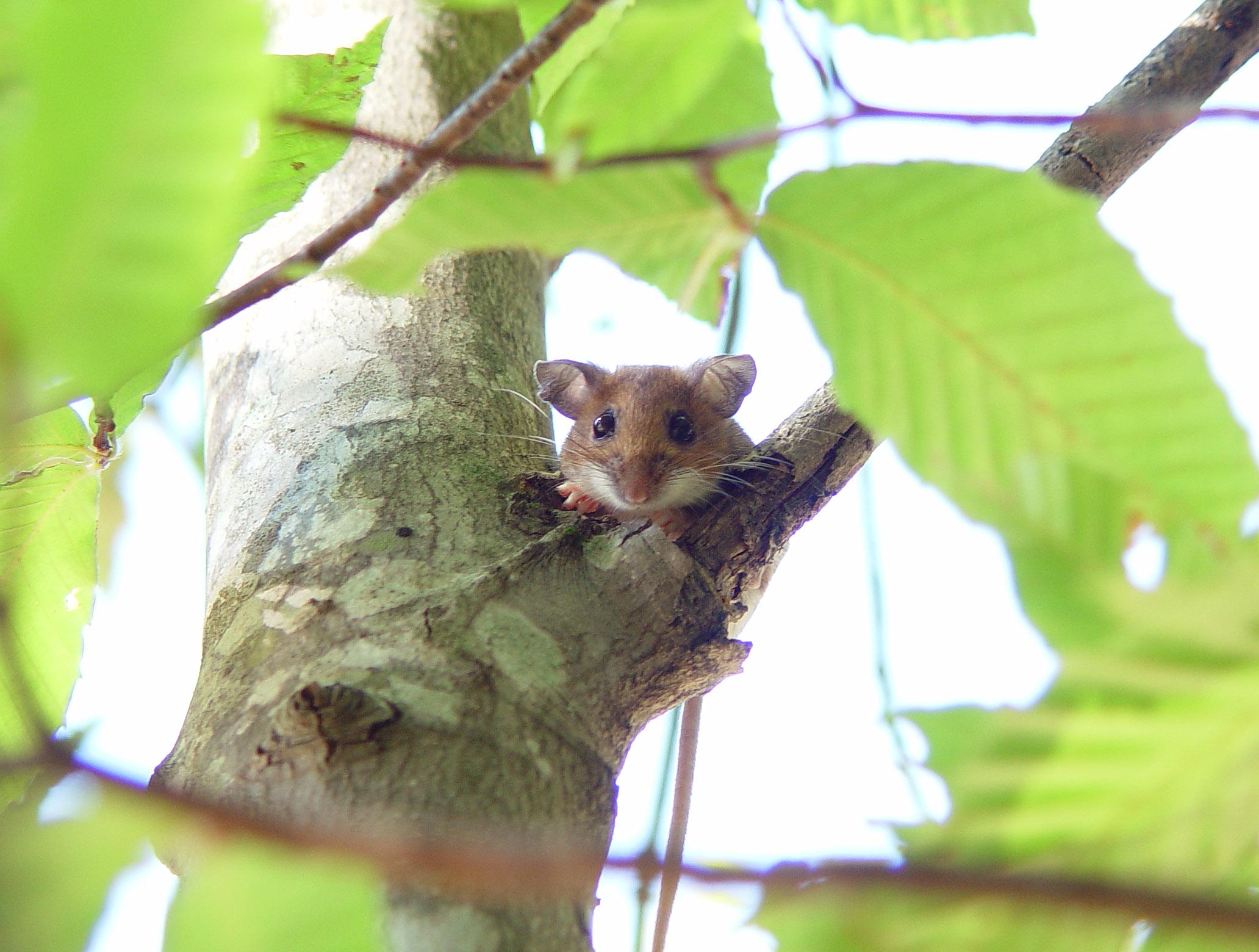 deer mouse2.jpg