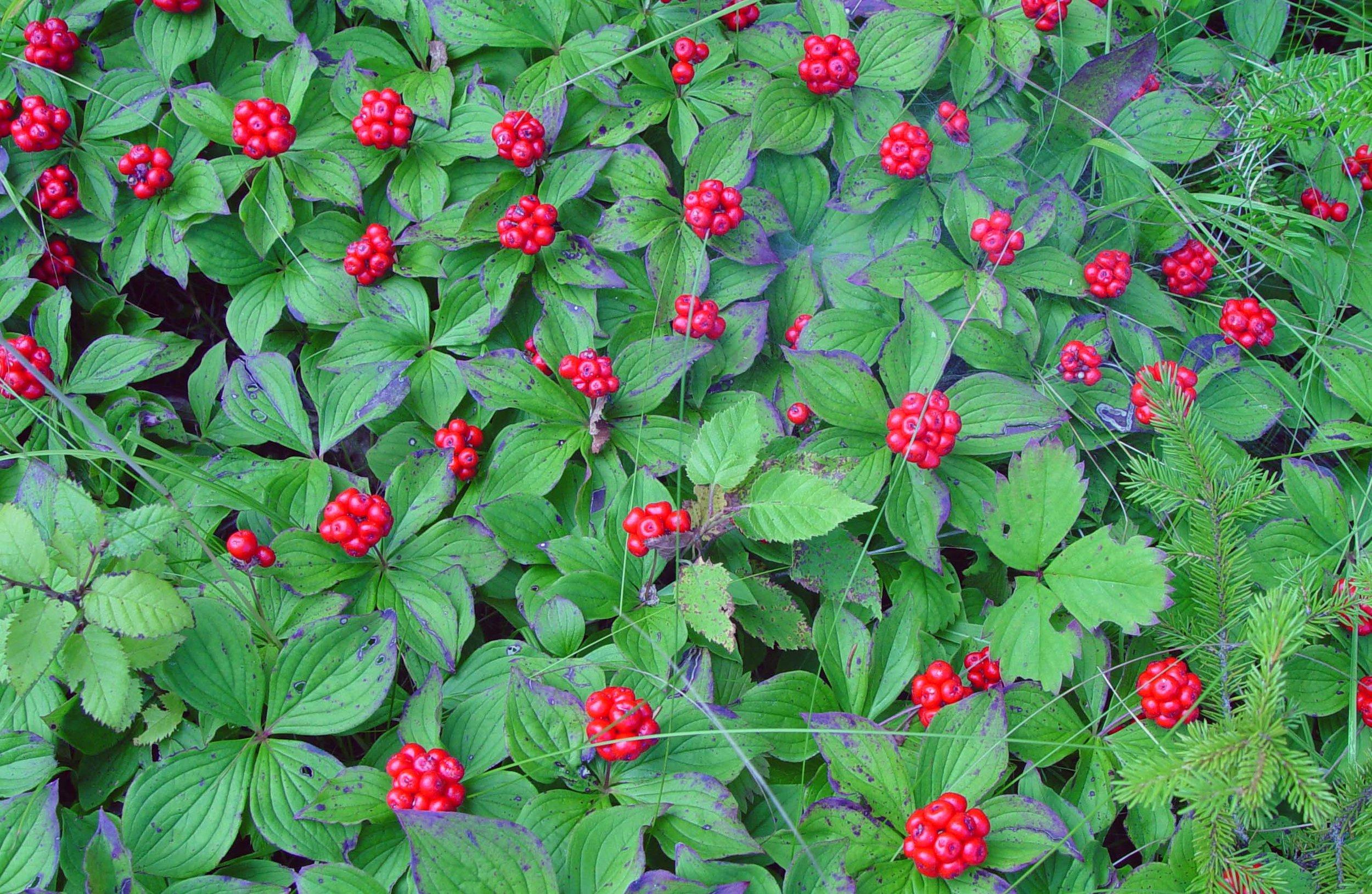 Chamaepericlymenum canadense fruiting plants.jpg