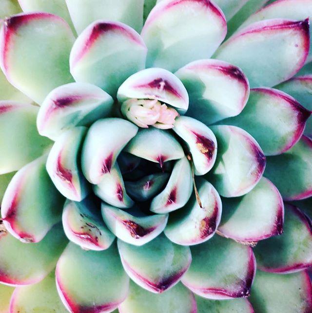 I see you...blooming! 🌵#new #bloom #blooming  #peace #naturegirl #naturelovers #succulentgarden #mysucculents #succulent #nature #cactus  #succulentsofinstagram #myhappyplace #succulentjunkie #giftofnature #succulents #breathe #zen #greenthumb #succulentgarden #nature #succulentsofinstagram #bridgit #bridgitadelle #blog #fighton #ostomyawareness #invisibleillness #sepsissurvivor #sepsis #chronicillness #chronicpain @succulentgram @cacti_creations