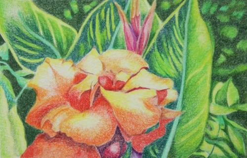 Hawaiian Canna