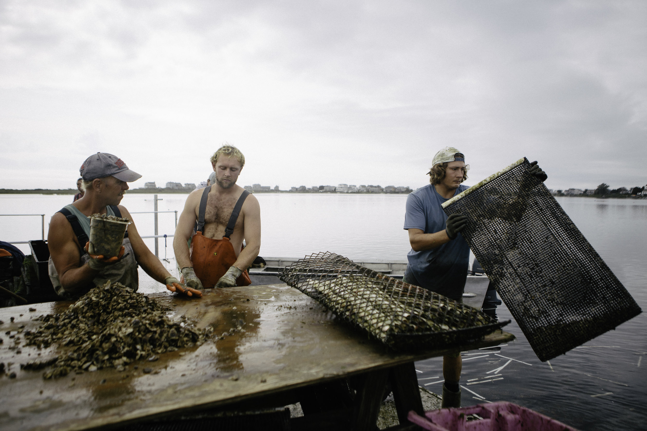 The barge crew take out six month old oysters from the cages. They redistribute them at a lower density as they get bigger.Oysters take about three years to reach market size.